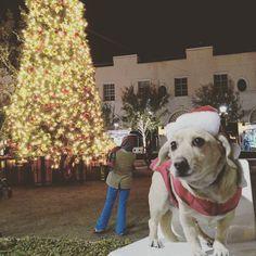 Santa paws!  #santapaws #xmastree #corgidor #corgicommunity #dogsofinstagram #labrador #corgi by jackster_corgidor