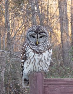 Barred Owl (Strix varia). Photo by Matthew D. Sumner.  <3 this site, has some of the coolest owl pics and info!