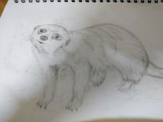 Meerkat pencil drawing