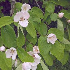 Yuck  #garden #gardening #gardener #blossums #tasmania #spring #quince #yuck #desgusting #teen #girl #chillinlikeavillian #smellinlikeamelin