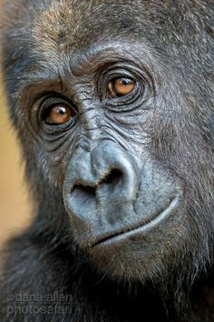 This is Yengo, a two year orphaned Western Lowland Gorilla (Congo); photo by Dana Andrews