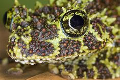 Lovable Frogs - Jim Zuckerman Photography - Mossy frog (Theloderma corticale), Vietnam