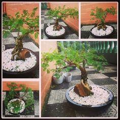 Learning the Art of Bending Bonsai: Monkey Thorn / Apiesdoring Bonsai