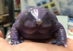 The Purple Frog (Nasikabatrachus sahyadrensis) From the western Ghats in India. It's populations are threatened by deforestation for cardamom and ginger plantations. These frogs also look as strange as they sound. They have a very small head in comparison to their body, and have a white snout that sticks out from their face.