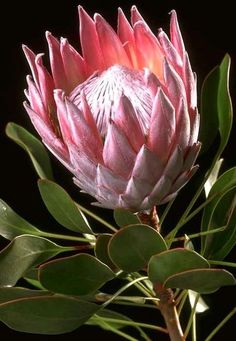 King Protea - South Africa's national flower BelAfrique - Your Personal Travel P. King Protea - So Protea Art, Flor Protea, Protea Flower, Waratah Flower, Exotic Plants, Exotic Flowers, Tropical Flowers, Beautiful Flowers, Australian Native Garden