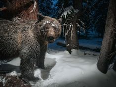 Picture of a grizzly bear in Yellowstone National Park