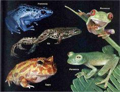 Resultados da Pesquisa de imagens do Google para http://animais.culturamix.com/blog/wp-content/uploads/2012/09/Animais-Vertebrados-Anfibios-1.jpg