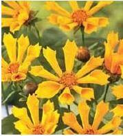 Top 10 plants for clay soil : Coreopsis, Daylily, Aster, Ferns, Japanese iris, Runner bean, Switchgrass, Potentilla, Viburnum / birdsandblooms