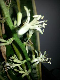 Fiore di Sanseveria