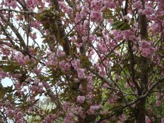 Cherry Blossoms #NewZealand