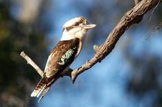 """Laughing Kookaburra (Dacelo novaeguineae) a terrestrial tree Kingfishers (Alcedinidae) native to Australia & New Guinea. Yes, they do have a call that sounds uncannily like loud, like hysterical human laughter. . . """"Kookaburra sits in the old gum tree . . . Merry, merry king of the bush is he . . . Laugh, Kookaburra! Laugh, Kookaburra! . . . Gay your life must be!"""