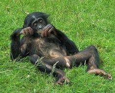 Young Chimp,Twycross Zoo