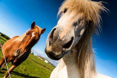 Iceland Horses by BSGuyIncognito.deviantart.com on @DeviantArt