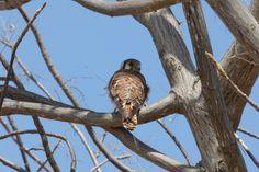 MORROPÓN. Cernícalo Americano (Falco sparverius)