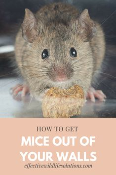 Suspect you have mice in your walls and don't know what to do? Grabbing a trap won't solve your problem, but these tips will! Mouse Deterant, Mouse In The House, Mice Control, Pest Control, Home Remedies For Mice, Killing Mice, Keep Mice Away, How To Deter Mice, Rat Infestation