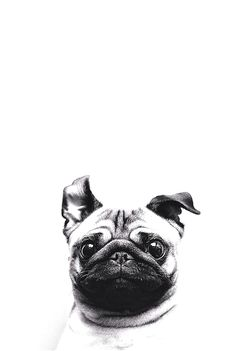 iPhone or Android Pug Dog background wallpaper selected by ModeMusthaves.com