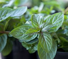 Chocolate Mint Herb: veined leaves sprout from pretty, purple red stems Pinch a few leaves -drop them in your mug before pouring your morning coffee, garnish or an ingredient in bake goods.. Homemade chocolate mint ice cream, oh yeah!