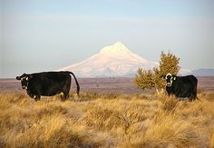 Cattle with Mt. Hood in the distance. Meet the newest Farm Stay U.S. member, Justesen Ranch, in Grass Valley, Oregon