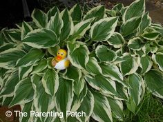 The Duck and the Hostas: The Rubber Ducky Project Week 31 | Parenting Patch