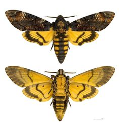 Deaths Head Moth, Microscopic Photography, Sphinx, Insect Tattoo, Moth Wings, Hawk Moth, Beautiful Bugs, Insect Art, Bugs And Insects