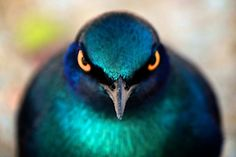 Cape Glossy Starling - Kruger National Park, South Africa (We saw many of these. Beautiful Eyes, Beautiful Birds, Pigeon, Rare Birds, Shades Of Teal, Kruger National Park, Starling, Birds Eye View, Illustrations
