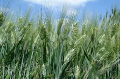 Durum Wheat, unripened