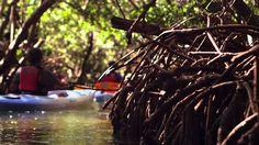 Kayaking Mangrove Tunnels in Sarasota Bay