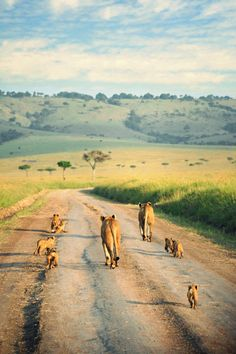Family of Lions at the Masai Mara National Reserve in Kenya. Check out 10 stunning Kenyan museums you must visit at TheCultureTrip.com. Click on the image to view the full list! (http://prettystuff.tumblr.com/post/36881041214)