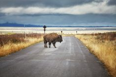 Bison on road in Grand Teton National Park, Wyoming, USA. by Maciejbledowski. American bison on a road in Grand Teton National Park, Wyoming, USA. Grand Teton National Park, Wyoming, Wilderness, Wildlife, Country Roads, Stock Photos, Landscape, Usa, Nature