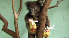 Mitten-wearing koalas recovering from wildfire in Australia http://www.ctvnews.ca/video?clipId=527961&playlistId=1.2182188&binId=1.810401&playlistPageNum=1&binPageNum=1