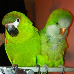 Mini macaw and Quaker parrot