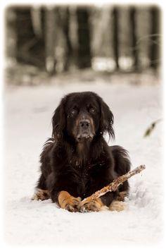 Hovawart enjoying snow - null