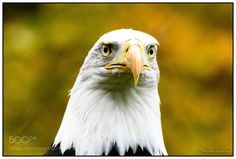 Bald eagle by martinerstling #animals #animal #pet #pets #animales #animallovers #photooftheday #amazing #picoftheday