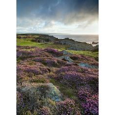 Langness Point...loved the heather