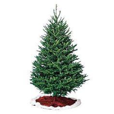 fraser fir types of fir trees types of christmas trees douglas fir christmas tree - Best Christmas Tree Type