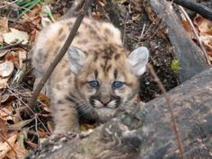 Mountain lion kitten in western North Dakota, Best Reader Photos of January 2013 | Field & Stream