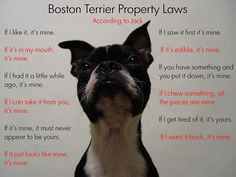 Boston Terrier Property Laws. Jenny isn't like this all. Lu Lu is defiantly in control.. Lol