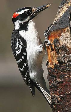 Hairy Woodpecker  Google Image Result for http://hostedmedia.reimanpub.com/BNB/Images/bdb/hairywoodpecker_fBoxV.jpg