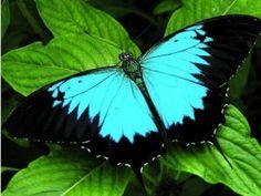 Farfalle/Butterfly