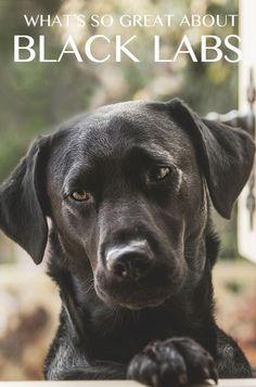 Black Lab - Your Guide To The Black Labrador Retriever - The Labrador Site