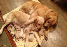 How precious! Spread the love and wisdom, like these Golden Retrievers are doing. Dogs share their love and guidance to their young, much like people.