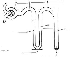 Structure of a kidney nephron basic diagram of a kidney nephron nephron diagram google search ccuart Gallery