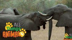 ELEPHANTS: Animal videos for children| kids| toddler. Preschool & Kinder...