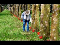 b651dae2c7b921 Aprovechamiento y Producción de Caucho en Colombia - TvAgro por Juan Gon...  Colombia