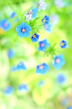 morning glories, flower vine