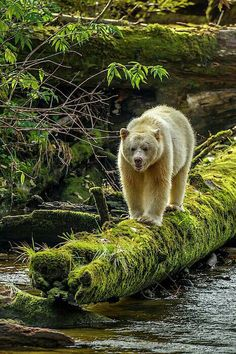 """Kermode Bear - Canada, British Columbia, Inside Passage by Jaynes Gallery The Kermode bear, also known as the """"spirit bear"""", is a rare subspecies of the American black bear living in the Central and. Nature Animals, Animals And Pets, Baby Animals, Cute Animals, Baby Pandas, Wild Animals, Spirit Bear, Spirit Animal, Bear Pictures"""