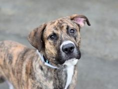 TO BE DESTROYED 01/15/17: ****PUBLICLY ADOPTABLE**** A volunteer writes: Is it shallow of me to say that I fell in love with Jermaine based on just his looks? It is hard not to swoon over his youthful glow, his muscular body, sweet puppy face and bushy tail that anchors his tall legs! He is STUNNING!! His paws might be a little too big for his body, though, giving him a puppy-like gait that's quite laughable. And he truly is ALL puppy! He LOVES toys, and after waiting most of the afternoon…