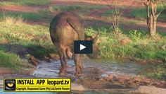 Getting ready for #Spring! Watch the video of a buffalo wallowing in the mud! #leopardtv #shayamanzi