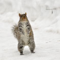 The squirrels of SU are doing their best to brave the cold this winter!!