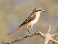 birdwatching in Oman